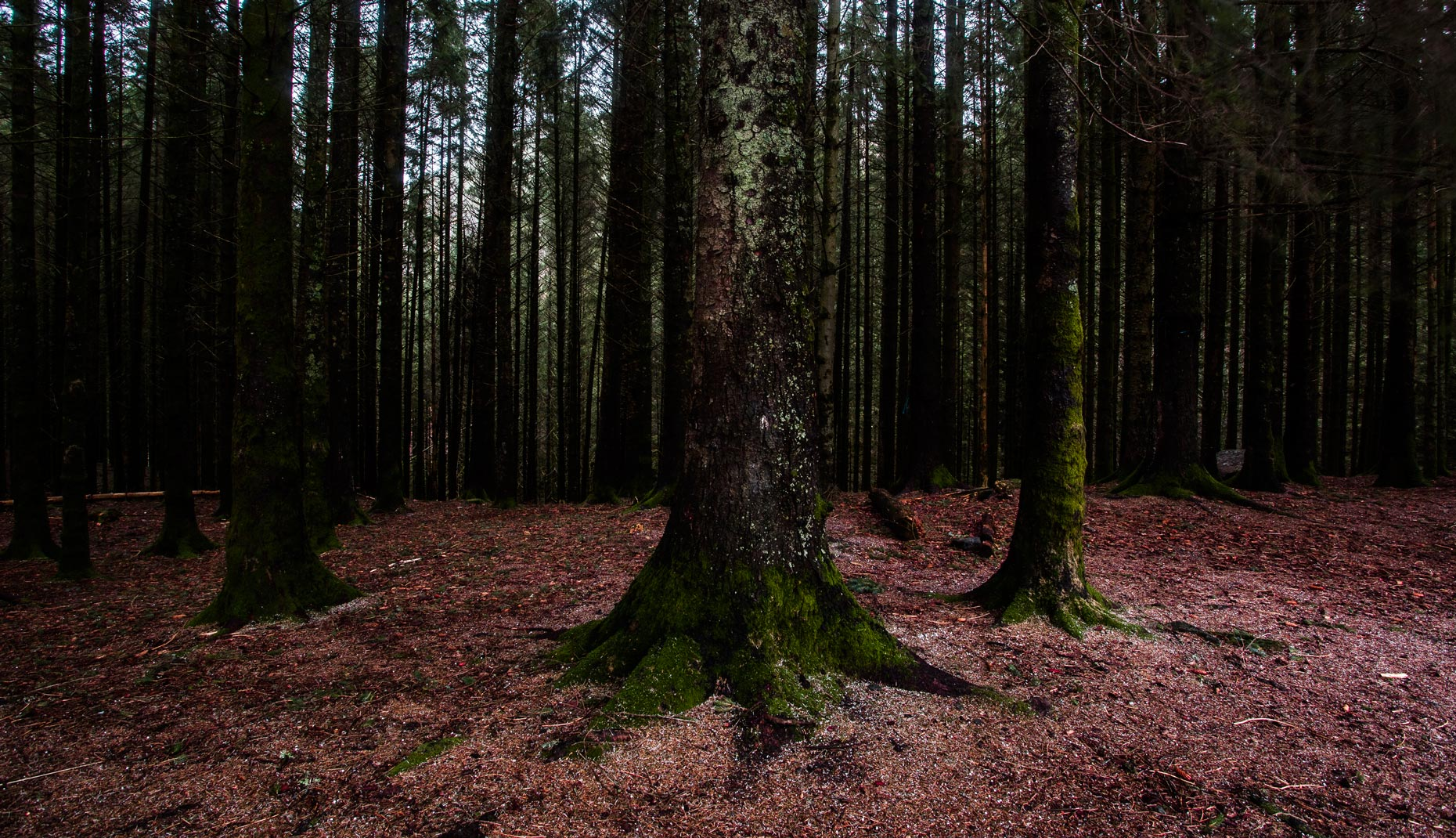 Red-woods_1